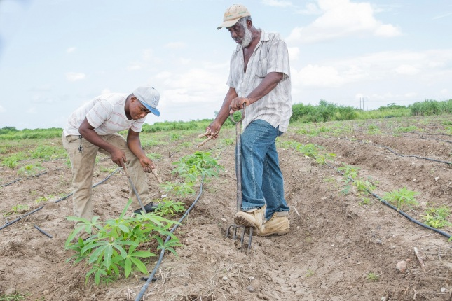 Jamaica, Red Stripe, Red Stripe Beer, Project Grow, PR, Press Release, Blog, 13thStreetPromotions, 13thStreetPromo, Farming, Cassava